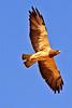 A Swainson's Hawk taken July 2, 2011 near Portales, NM.