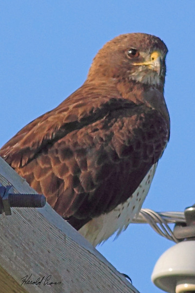 A Swainson's Hawk taken July 26, 2010 near Portales, NM.