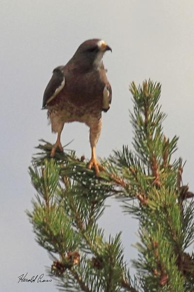 A Swainson's Hawk taken Sep 21, 2010 near Pocatella, ID.