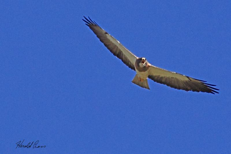 A Swainson's Hawk taken July 22, 2010 near Portales, NM.