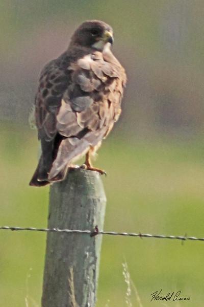 A Swainson's Hawk taken May 29, 2010 near Bozeman, MT.