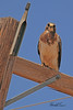 A Swainson's Hawk taken May 15, 2011 near Portales, NM.