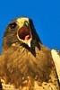 A Swainson's Hawk taken July 18, 2011 near Portales, NM.