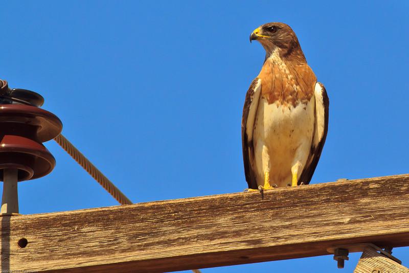 A Swainson's Hawk taken July 17, 2011 near Portales, NM.