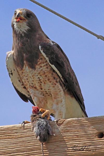 A Swainson's Hawk taken July 27, 2010 near Monte Vista, CO.