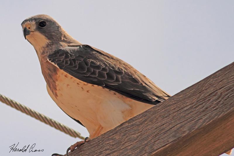 A Swainson's Hawk taken May 16, 2011 near Portales, NM.