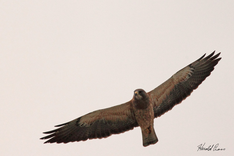 A Swainson's Hawk taken May 26, 2010 near Bozeman, MT.