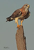 A Swainson's Hawk taken Oct 4, 2010 near Fort Sumner, NM.