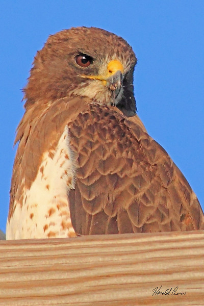 A Swainson's Hawk taken July 26, 2010 near Portales, NM.