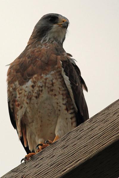 A Swainson's Hawk taken Oct. 2, 2010 near Muleshoe,  TX.