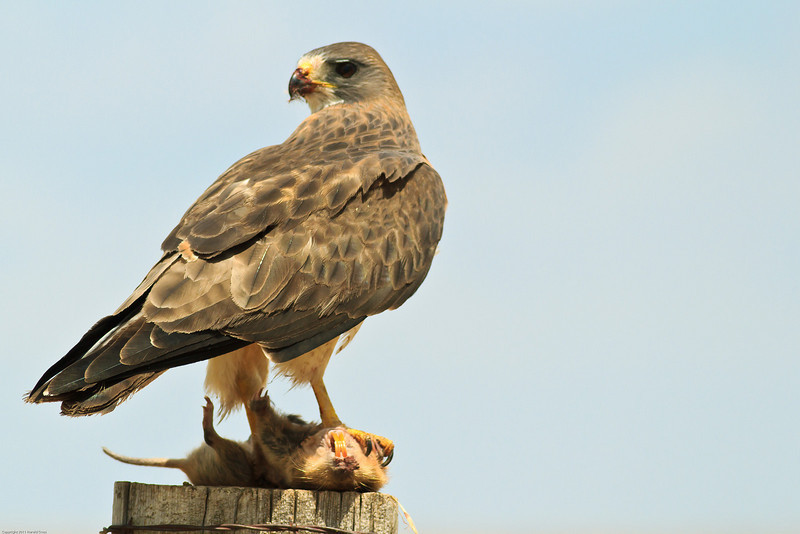 A Swainson's Hawk taken July 17, 2011 near Kenna, NM.