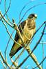 A Swainson's Hawk taken Sep. 15, 2011 near Fruita, CO.
