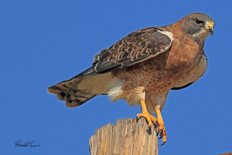 A Swainson's Hawk taken Oct. 3, 2010 near Portales, NM.