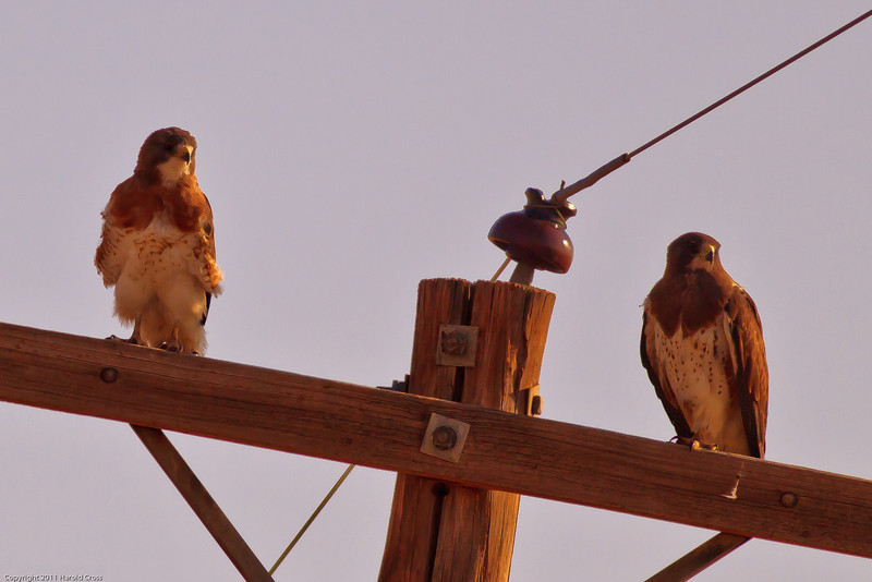 Swainson's Hawks taken July 3, 2011 near Portales, NM.