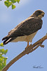 A Swainson's Hawk taken May 9, 2011 at Barr Lake State Park near Denver, CO.