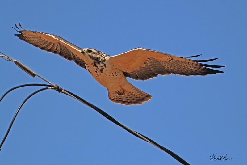 A Swainson's Hawk taken Oct. 4, 2010 near Portales, NM.