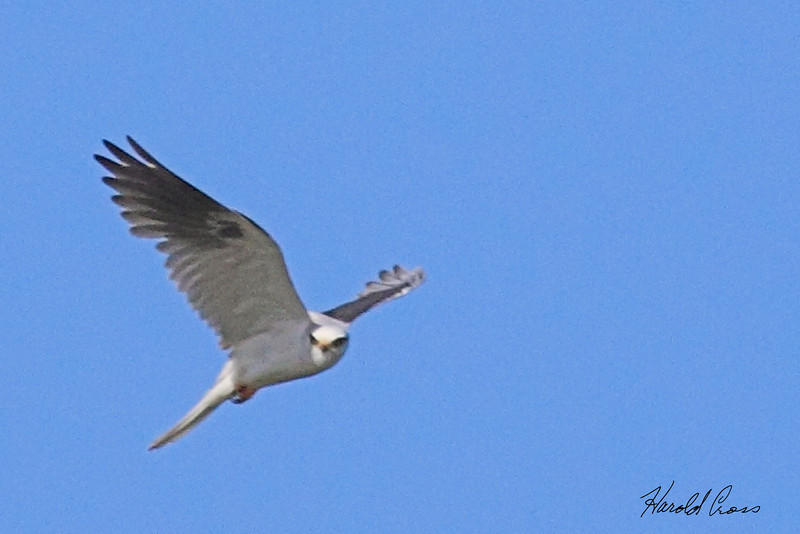 A White-tailed Kite taken Apr 24, 2010 near Fortuna, CA.