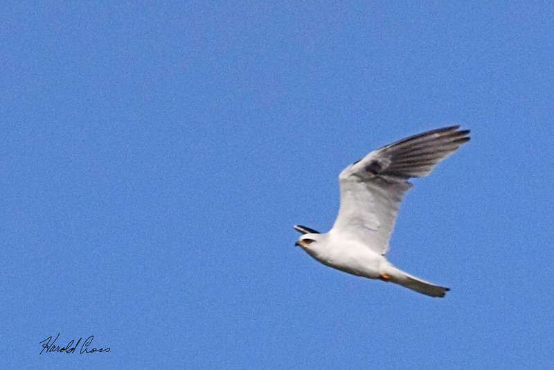 A White-tailed Kite taken Apr 24, 2010 near Fortuna, CA.