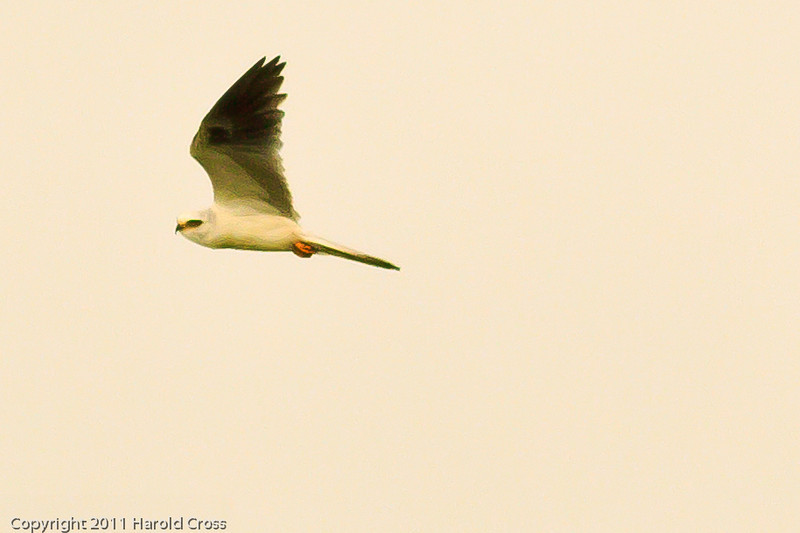 A White-tailed Kite taken Jun 12, 2011 near Eureka, CA.