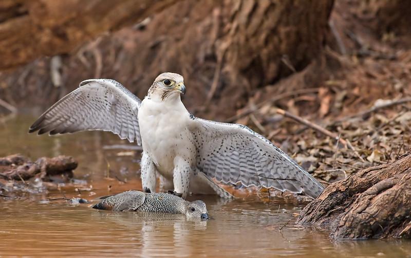 Falconiformes. sub Falconidae - sub fam Falconinae - gênero Falco - Página 2 582988576_eB8EG-L