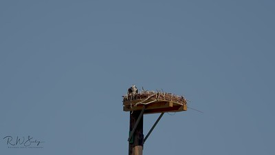 Osprey Mating Slow Motion Video