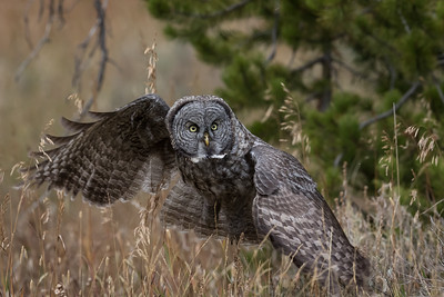 A Great Gray Owl flys low over a meadow in Yellowstone National Park.