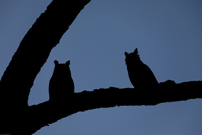 Pair of Great Horned Owls Sitting Together as Darkness Sets In