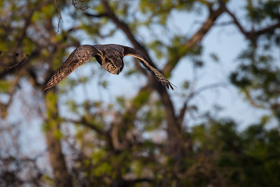 A great horned owl hones in on potential prey and quickly and silently dives off the branch where it was purched.