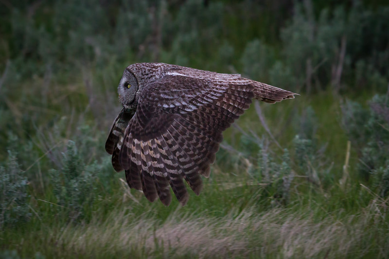 A Great Gray Owl flying  a few feet above sage and grasses at the edge of a boreal forest in Wyoming.