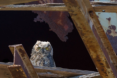 A Great Horned Owlet Observes From the Safety of an Old Water Tower.