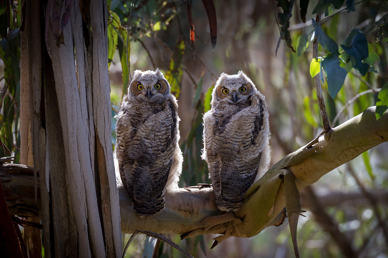 While hiking with our camera gear in Morro Bay we happened to hear the hoot of a Great Horned Owl one morning.  We followed the sound and spied two Great Horned Owlets intently staring at us from their perch high in a eucalyptus tree.