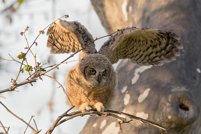 Great horned owlet strengthening  its wings in preparation for its inaugural flight.