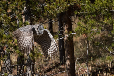 A young Great Gray Owl silently glides through the forest in Yellowstone National Park.