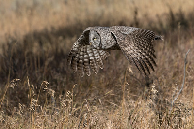 A Great Gray Owl Glides Across A Meadow