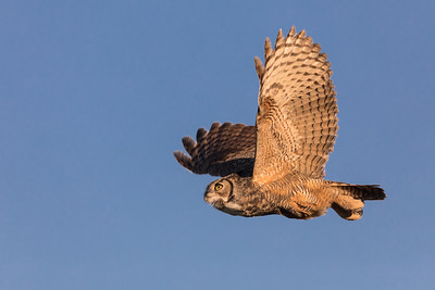 Great Horned Owl-Time to Hunt