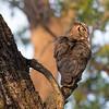 Great horned owl profile portrait