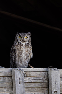 A Great Horned Owl Roosting In The Window Of An Old Barn