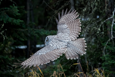 A Great Gray Owl Silently Glides Through the Forest in Search of Prey