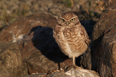Beautiful early evening light on a Burrowing Owl in Berkeley, California.