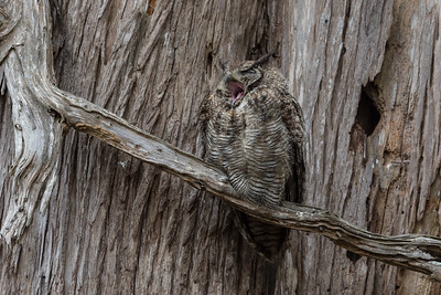 This Great Horned Owlet kept up its cries to be fed all day long in Point Reyes National Seashore.
