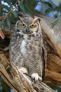 A protective mother great horned owl careful monitors us as we observe her owlets.
