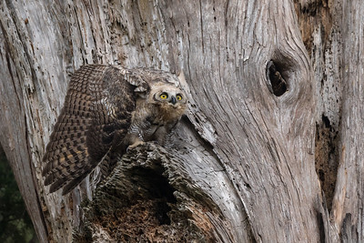 While hiking through pastures and small groves of trees in Point Reyes National Seashore we heard the plaintive call of an owlet to its parent.  We followed the calls until we spotted this juvenile Great-horned owl in an old dead tree.  We photographed and observed from a respectable distance and were surprised when a Cooper's Hawk flew overhead.  Immediately the Great-horned adopted a defensive mantling posture until the perceived threat few away.