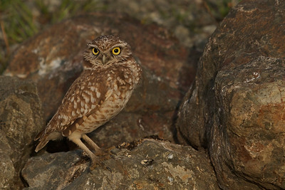 Another example of finding wildlife in the most unlikely of places such as this Burrowing Owl in Berkeley, California.