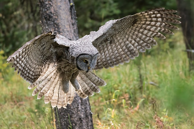 Attack! A Great Gray Owls Focused On Catching Its Next Meal