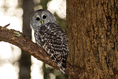 Barred Owl beginning its evening hunting.  Photo taken near Bremerton, Washington.