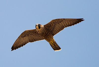 Juvenile female Peregrine Falcon.  Photo taken from 1st Burroughs Mountain at Mt. Rainier National Park in Washington.