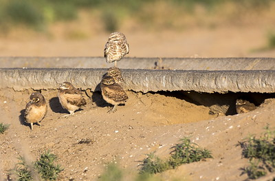 Burrowing Owl family near Othello, Washington.