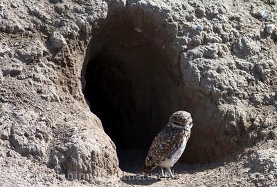 Burrowing Owl by its burrow--a refurbished badger den.  Photo taken near Othello, Washington.