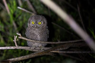 Juvenile Western Screech-Owl.  Photo taken at the Lmuma Creek Recreation Area along the Yakima River near Ellensburg, Washington.