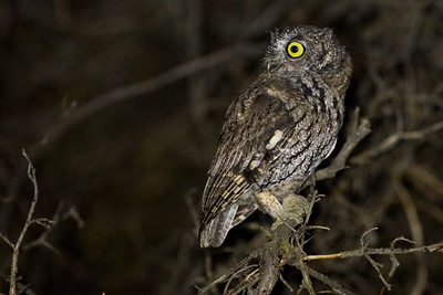 Western Screech-Owl near Robinson Canyon just outside of Ellensburg, Washington.